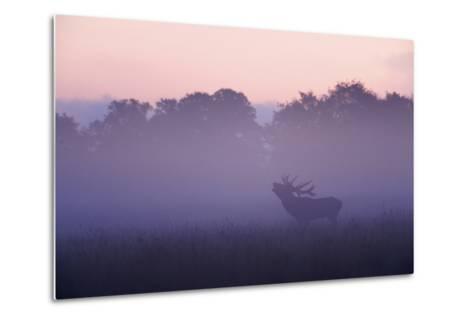 Red Deer Stag Calling During Rut, Light Mist at Sunrise, Klampenborg Dyrehaven, Denmark-M?llers-Metal Print