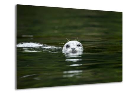 Harbor Seal, British Columbia, Canada--Metal Print