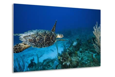 Hawksbill Turtle Swimming Above Reef--Metal Print