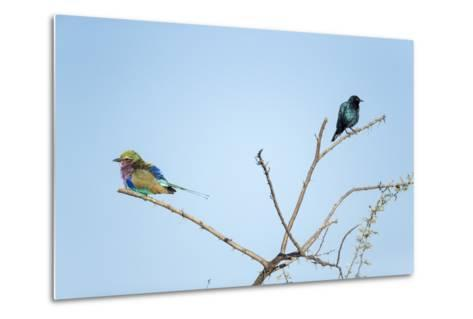 Lilac Breasted Roller and Burchell's Starling, Botswana-Paul Souders-Metal Print