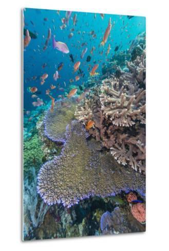 A Profusion of Coral and Reef Fish on Batu Bolong, Komodo Island National Park, Indonesia-Michael Nolan-Metal Print