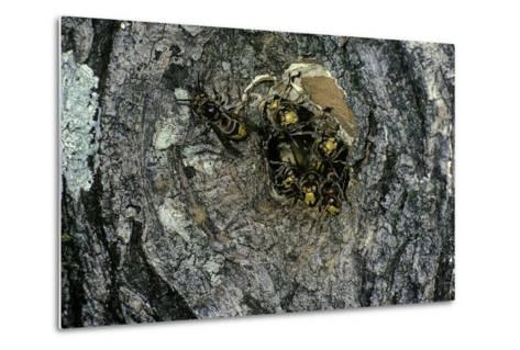 Vespa Crabro (European Hornet) - Nest Entrance in a Tree Trunk-Paul Starosta-Metal Print