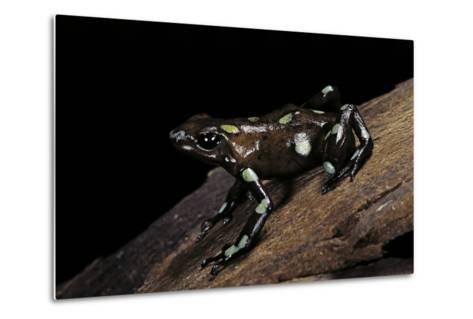 Dendrobates Auratus F. Tobago (Green and Black Poison Dart Frog)-Paul Starosta-Metal Print