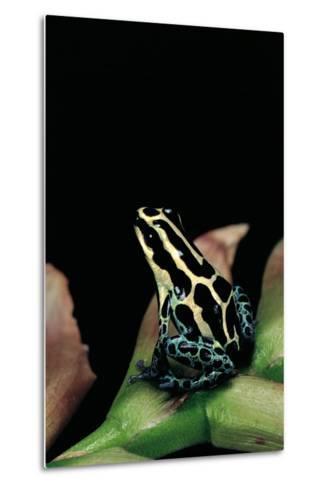 Ranitomeya Ventrimaculata (Reticulated Poison Frog)-Paul Starosta-Metal Print