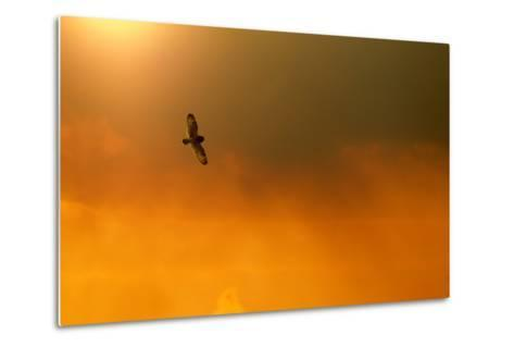 Short-Eared Owl (Asio Flammeus) in Flight, Backlit, at Dusk, Lincolnshire, UK, March-Ben Hall-Metal Print