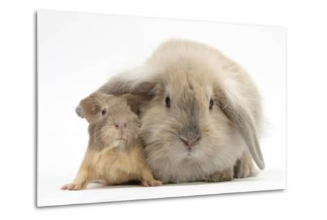 Young Windmill-Eared Rabbit and Matching Guinea-Pig-Mark Taylor-Metal Print
