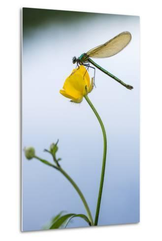 Bannded Demoiselle Resting on Buttercup, Lower Tamar Lakes, Cornwall - Devon Border, UK. May-Ross Hoddinott-Metal Print