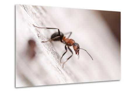 Wood Ant (Formica Rufa) Arne Rspb Reserve, Dorset, England, UK, July. 2020Vision Book Plate-Ross Hoddinott-Metal Print