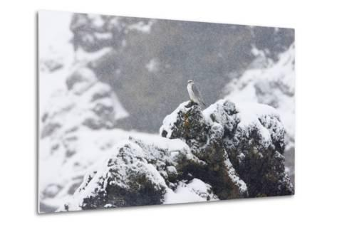 Female Gyrfalcon (Falco Rusticolus) in Snow, Myvatn, Thingeyjarsyslur, Iceland, April 2009-Bergmann-Metal Print