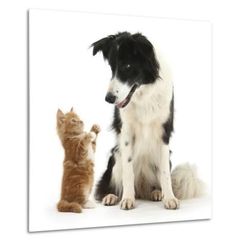 Black-And-White Border Collie Looking at Ginger Kitten-Mark Taylor-Metal Print