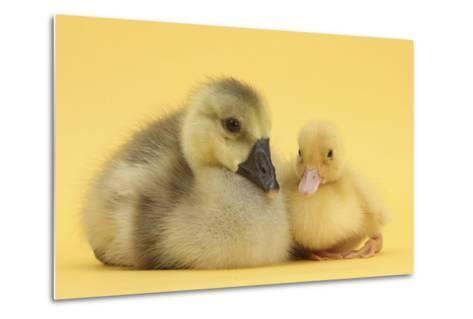 Yellow Gosling and Duckling on Yellow Background-Mark Taylor-Metal Print