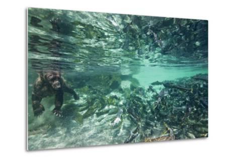 Underwater Brown Bear, Katmai National Park, Alaska--Metal Print