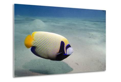 Emperor Angelfish (Pomacanthus Imperator) Close to Sandy Seabed-Mark Doherty-Metal Print