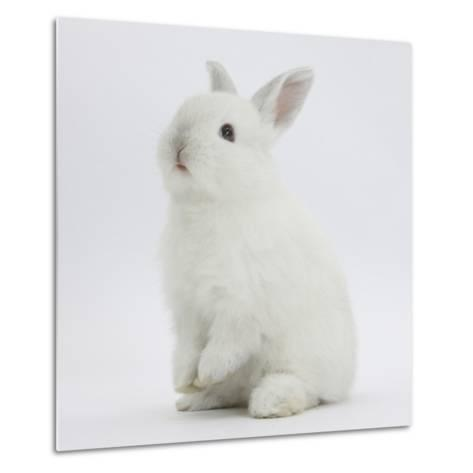 Young White Domestic Rabbit Sitting Up on its Haunches-Mark Taylor-Metal Print