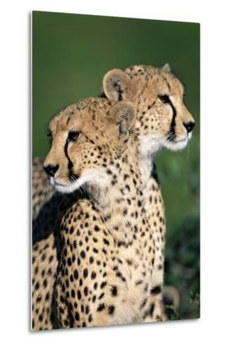 Two Cheetahs-Paul Souders-Metal Print