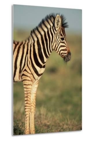 Plains Zebra at Sunset-Paul Souders-Metal Print