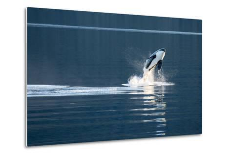 A Killer Whales, or Orca Leaping in Frederick Sound, Inside Passage, Alaska-Michael Melford-Metal Print