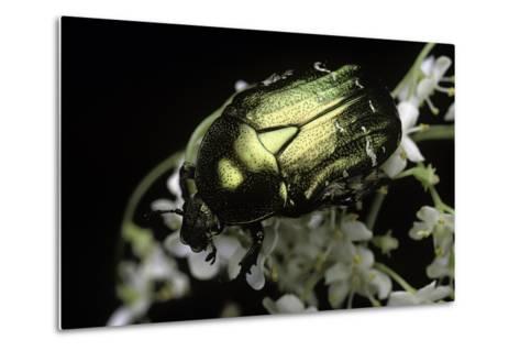 Cetonia Aurata (Rose Chafer)-Paul Starosta-Metal Print