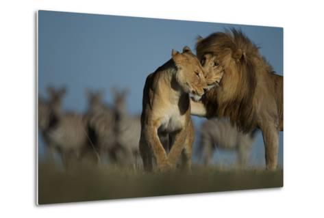 An Adult Male Lion Approaches a Vumbi Female-Michael Nichols-Metal Print