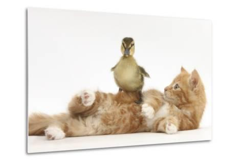Ginger Kitten Lying on its Back with a Mallard Duckling Walking over It-Mark Taylor-Metal Print