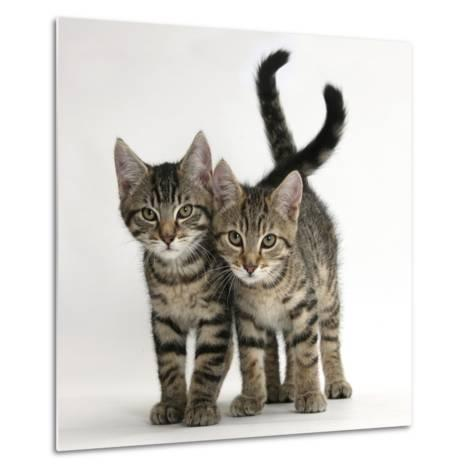 Tabby Kittens, Stanley and Fosset, 12 Weeks Old, Walking Together-Mark Taylor-Metal Print