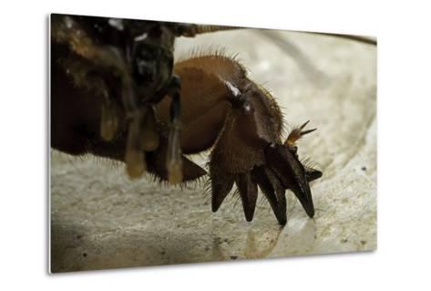 Gryllotalpa Gryllotalpa (European Mole Cricket) - Foreleg-Paul Starosta-Metal Print