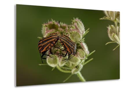 Graphosoma Lineatum (Striped Shield Bug ) - Mating-Paul Starosta-Metal Print