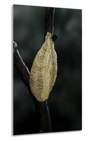 Mantis Religiosa (Praying Mantis) - Recently Laid Ootheca-Paul Starosta-Metal Print
