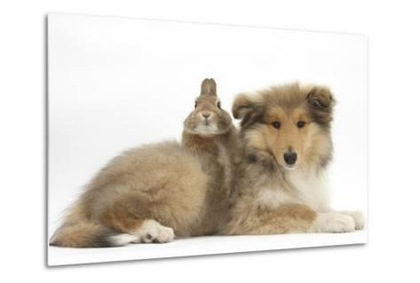 Rough Collie Puppy, 14 Weeks, with Sandy Netherland Dwarf-Cross Rabbit-Mark Taylor-Metal Print
