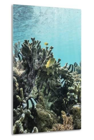 Underwater Reef System on Pink Sand Beach, Komodo National Park, Komodo Island, Indonesia-Michael Nolan-Metal Print