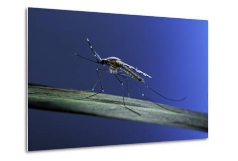 Anopheles Maculipennis (Malaria Mosquito)-Paul Starosta-Metal Print