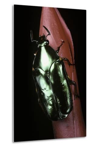 Agestrata Orichalca (Flower Beetle)-Paul Starosta-Metal Print
