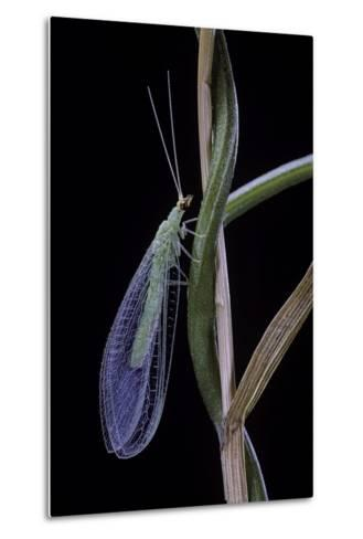 Chrysopa Carnea (Green Lacewing)-Paul Starosta-Metal Print