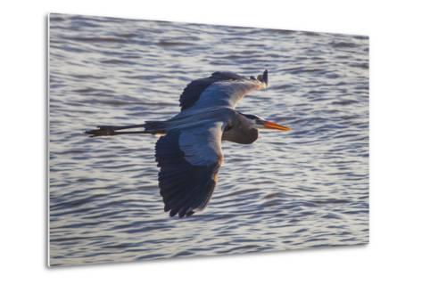 Portrait of a Great Blue Heron, Ardea Herodias, in Flight over the Occoquan River-Kent Kobersteen-Metal Print