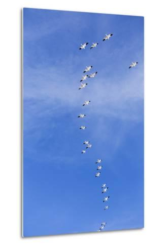 Snow Geese, New Mexico-Paul Souders-Metal Print