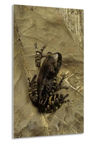 Phlyctimantis Boulengeri-Paul Starosta-Metal Print