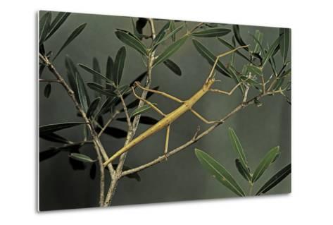 Clonopsis Gallica (French Stick Insect)-Paul Starosta-Metal Print
