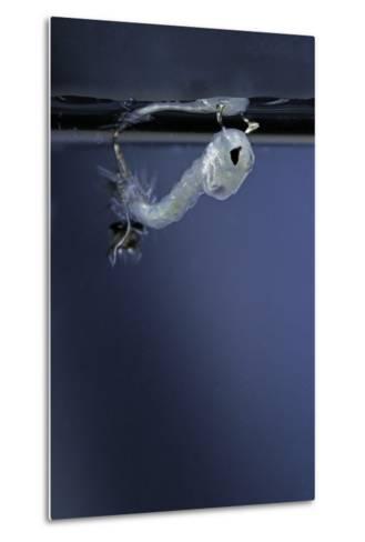 Culex Pipiens (Common House Mosquito) - Emerging of the Pupa-Paul Starosta-Metal Print