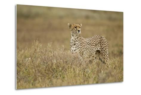 Cheetah, Ngorongoro Conservation Area, Tanzania-Paul Souders-Metal Print