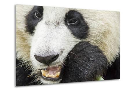 Giant Panda, Chengdu, China-Paul Souders-Metal Print