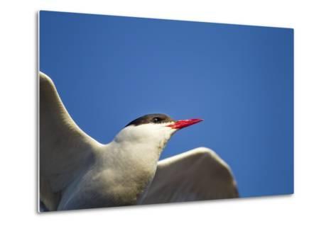 Arctic Tern, Hudson Bay, Canada-Paul Souders-Metal Print