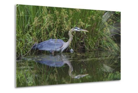 A Great Blue Heron Wades at the Edge of a Pond Near the Occoquan River in Northern Virginia-Kent Kobersteen-Metal Print