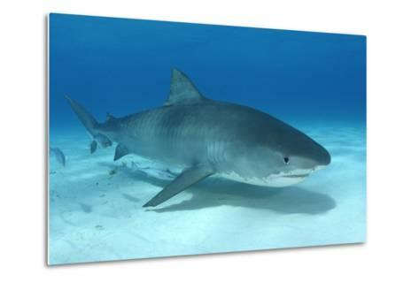 A Remora and Other Small Fish Swimming with a Tiger Shark, Galeocerdo Cuvier-Jeff Wildermuth-Metal Print