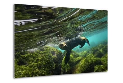 A Galapagos Sea Lion Frolics Just Beneath the Ocean Surface-Cory Richards-Metal Print