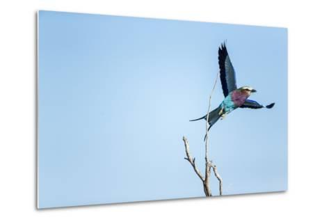 Lilac Breasted Roller, Moremi Game Reserve, Botswana-Paul Souders-Metal Print