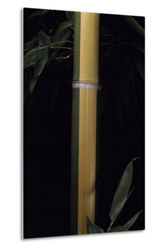 Phyllostachys Viridis 'Sulfurea' (Bamboo)-Paul Starosta-Metal Print
