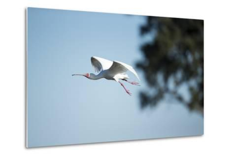 Spoonbill in Flight, Moremi Game Reserve, Botswana-Paul Souders-Metal Print