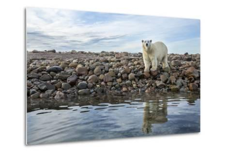 Polar Bear, Hudson Bay, Nunavut, Canada-Paul Souders-Metal Print