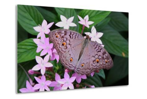 A Lemon Pansy Butterfly Taking Nectar from a Flower. Range, China, Malaya-George Grall-Metal Print