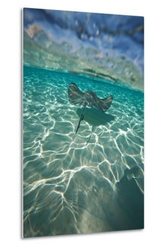 A Stingray Swims over a Series of Shallow Sandbars Off the Cayman Islands-Chris Bickford-Metal Print